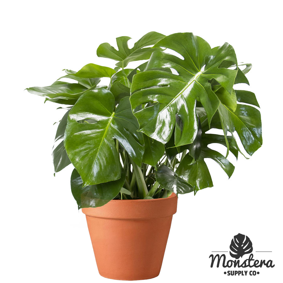 monstera deliciosa swiss cheese plant split leaf philodendron sale. Black Bedroom Furniture Sets. Home Design Ideas