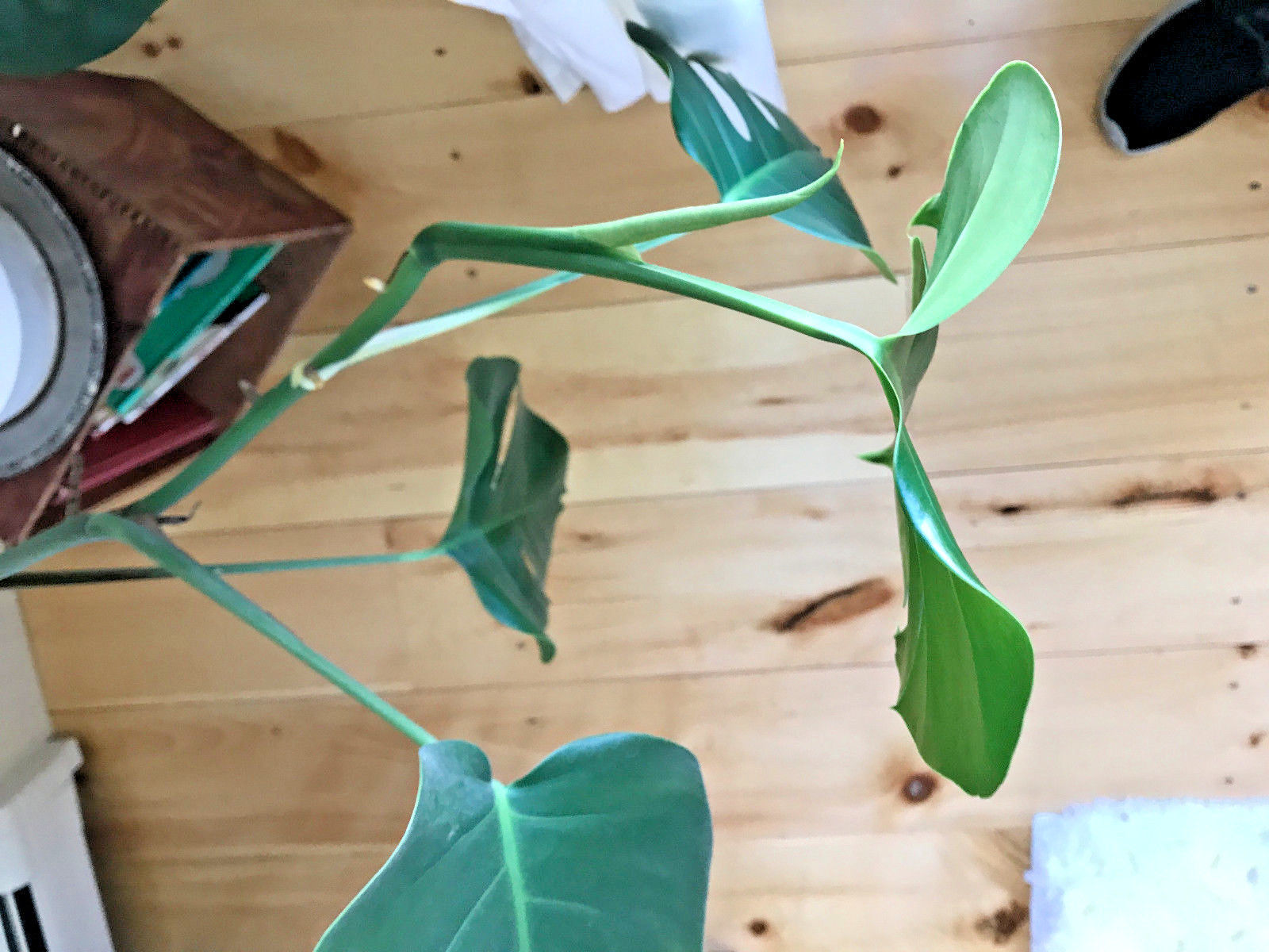 monstera cuttings